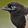 Avatar magpie-eye