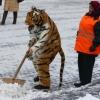 Avatar Тигр