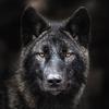 Avatar Волкъ