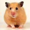 Avatar Hamster_Ok